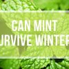 Can Mint Survive Winter? – The Essentials