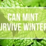 Can Mint Survive Winter? - The Essentials