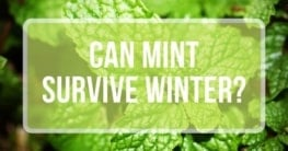 can mint survive winter