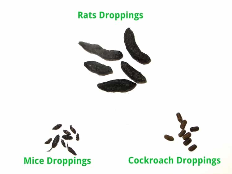 rat mouse cockroach droppings