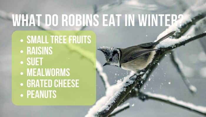 what do robins eat in winter