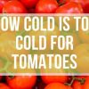 How Cold Is TOO Cold for Tomatoes?