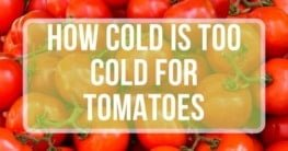 how cold is too cold for tomatoes