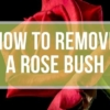 How to Remove a Rose Bush?