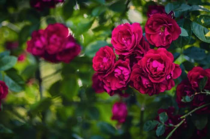 rose boush