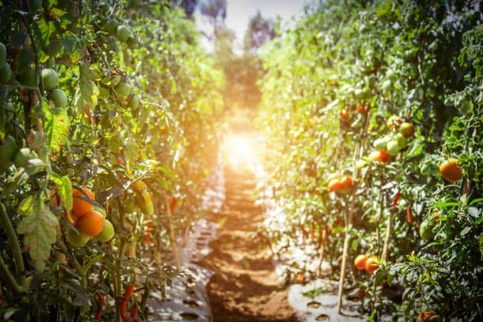 tomato pathway