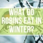 What Do Robins Eat in Winter?