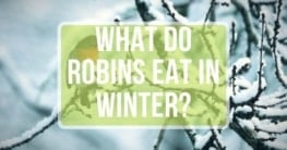 what foods robins eat during winter