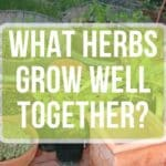 What Herbs Can Be Planted Together?