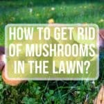 How to Get Rid of Mushrooms in the Lawn?